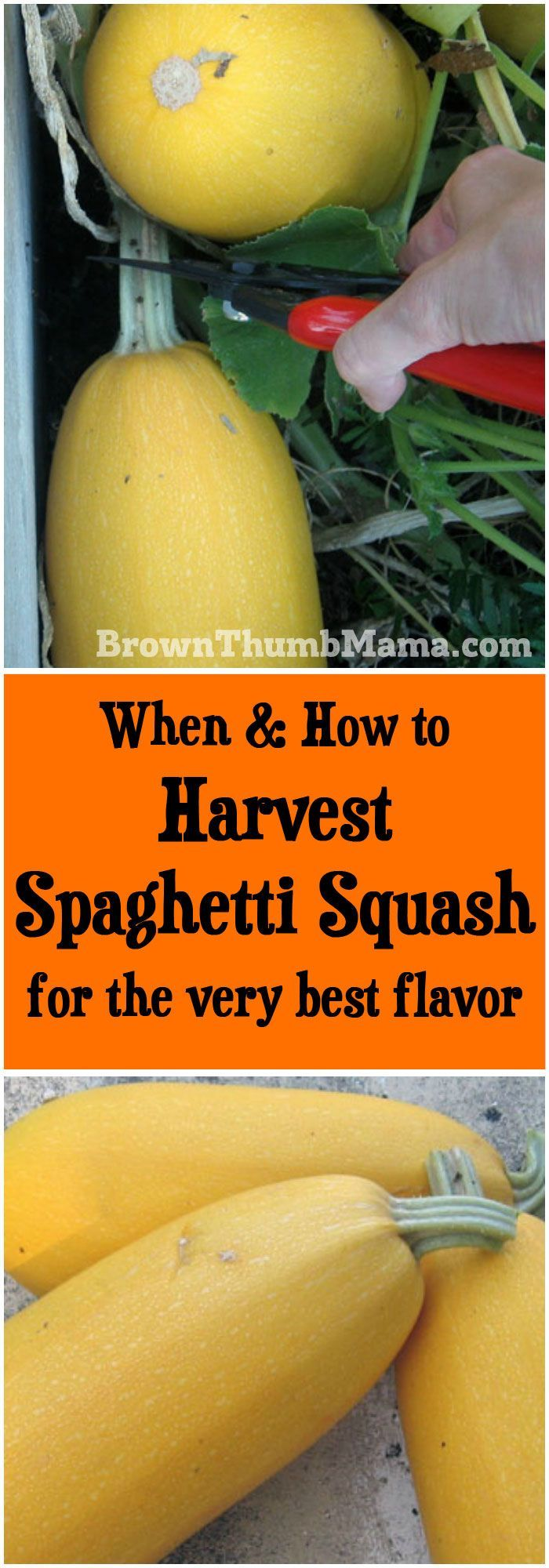 When and how to harvest spaghetti squash for the very best flavor: http://BrownThumbMama.com