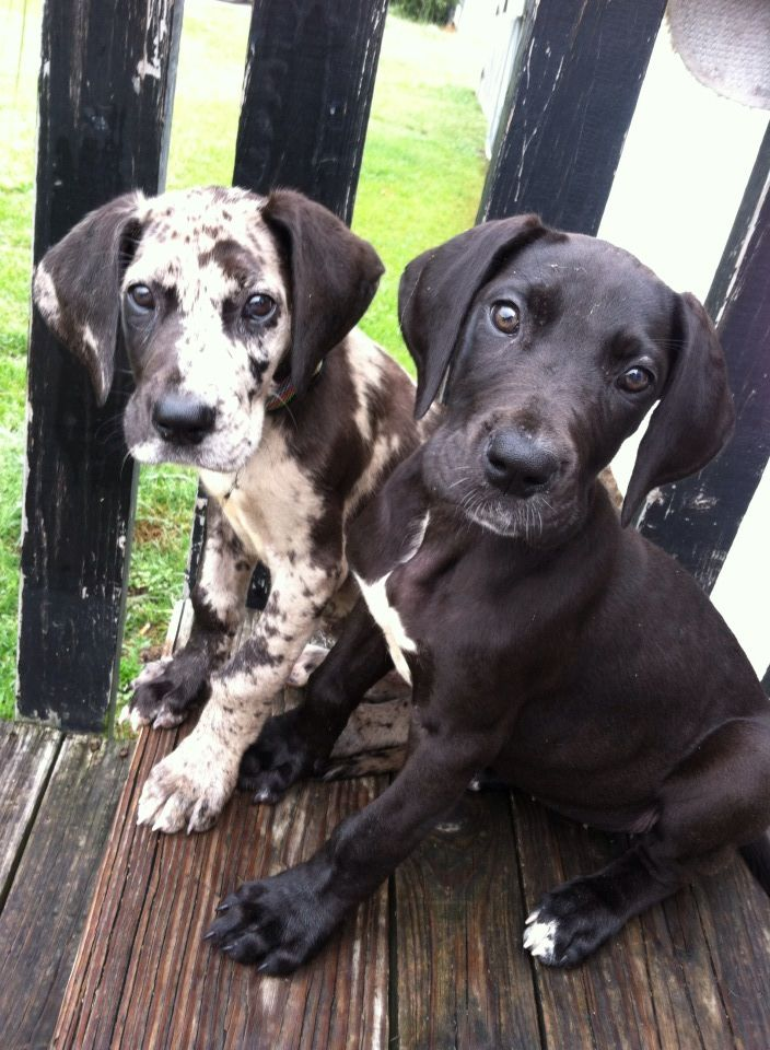 35 Photos of Great Dane Puppies That Will Melt Your Heart | Canine Distractions