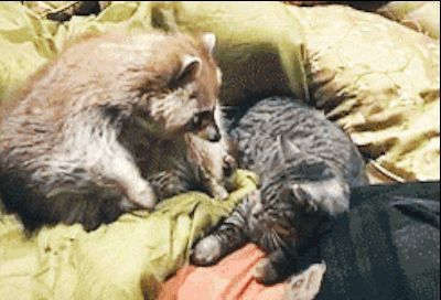 <b>Take the masks off your eyes, friends.</b> Accept raccoons into your heart.