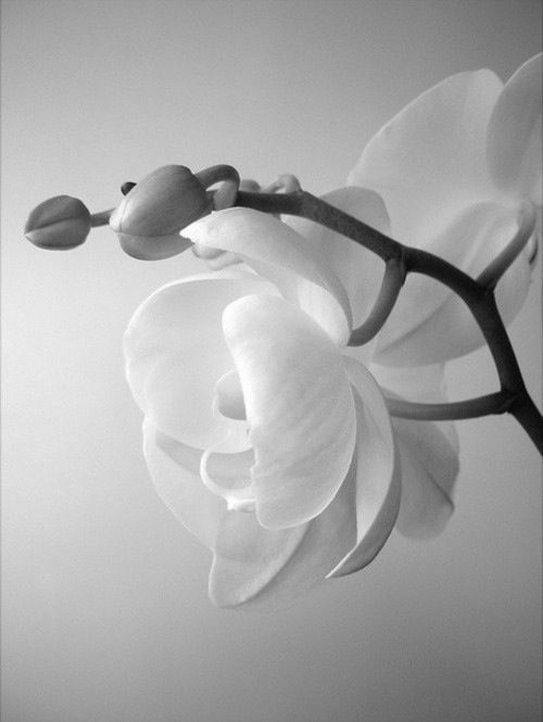 White orchid -- I'd love this tattooed on my rib or side with some blood on the petals, in omage to Heavy Rain. ❤️❤️