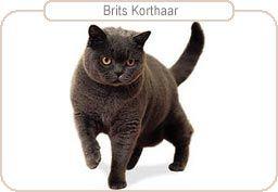 Britse korthaar-eigenschappen 2