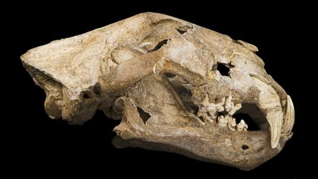 The skull of a cave lion (Panthera leo spelaea) (Credit: Didier Descouens)