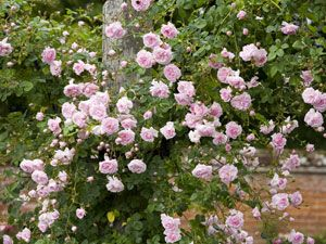 'New Dawn'  The first plant to ever receive a patent, in 1931, this vigorous climber can cover a 20-foot-tall wall in just one season with its delicately perfumed, creamy-pink blossoms.  Read more: Best Climbing Roses - Landscaping with Climbing Roses - Country Living