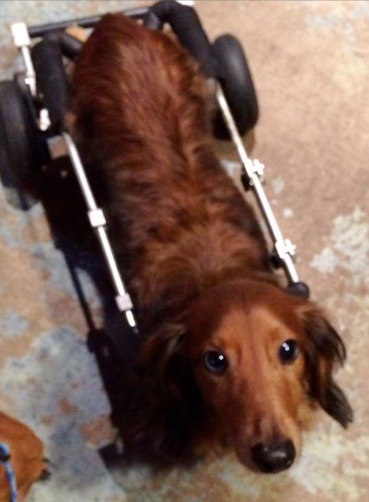 Blue's donation link: www.wepay.com/donations/blues-backBlue became paralyzed midday on November 30, 2013 and his owner was unable to cope with caring for him in his state and contacted us on December 1st need info him out ASAP. Blue is 4 years old,...