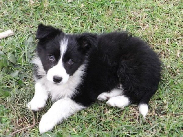 purebred border collie puppies for sale | Zoe Fans Blog