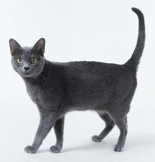 Katniss is a korat cat! Maybe alittle mut mixed in