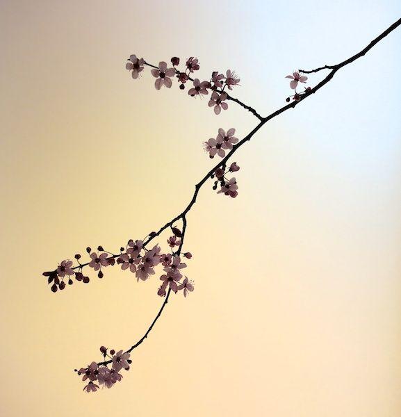 Free printable... Cherry Blossom Stencil ...   Stencils ...