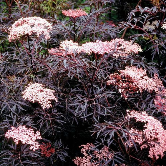 Black Lace Elderberry is the perfect addition if youre looking to add a dramatic (or spooky) hue to your garden! TIP: Harvest its berries in fall to make homemade elderberry wine or jam. (zones 4-7)