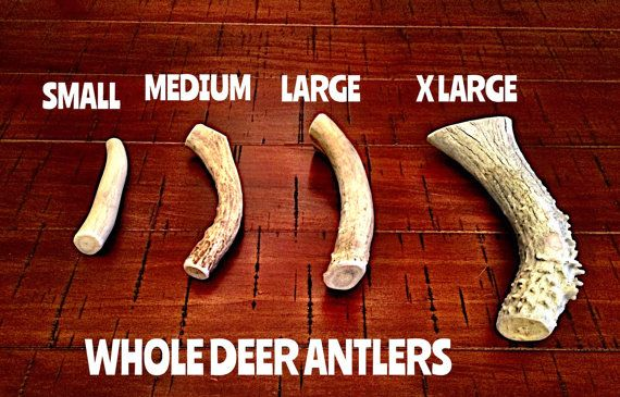 Hey, I found this really awesome Etsy listing at https://www.etsy.com/listing/264340699/deer-antler-dog-chews-free-shipping
