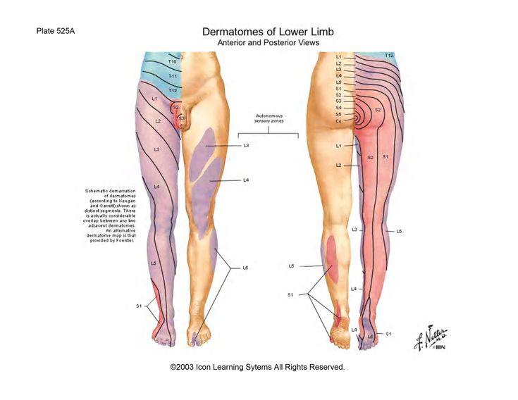 mer enn 25 bra ideer om femoral nerve på pinterest, Muscles