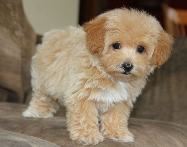 maltipoo full grown - Google Search