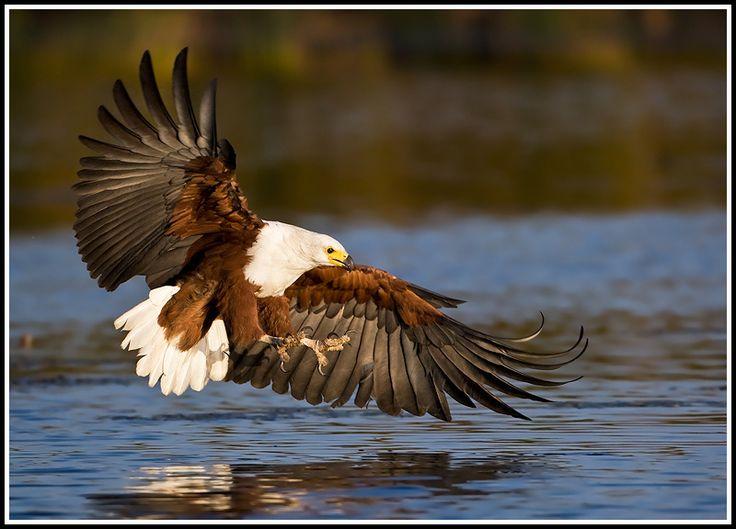 Eagle  http://www.birdforum.net/gallery/data/529/JHF3326-visarend_Xarolodge1.jpg