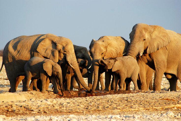 Elephants, Etosha National Park