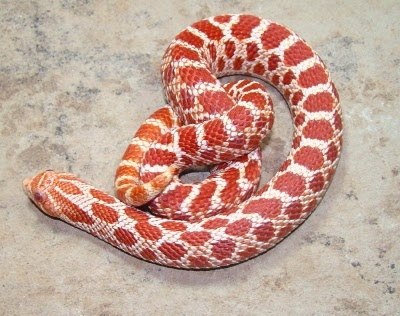 Extreme Red Albino Hognose Snake  Photo From Shores Enuff Snakes