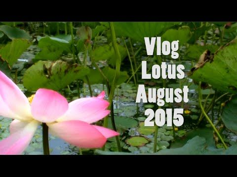 VLOG.Lotus Flower.August.Станица Голубицкая.
