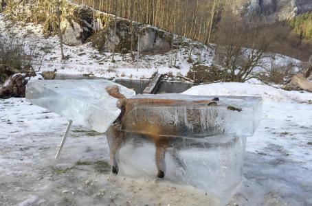 Eisfuchs in Fridingen: Fuchs in Donau eingebrochen und im Eisblock erstarrt