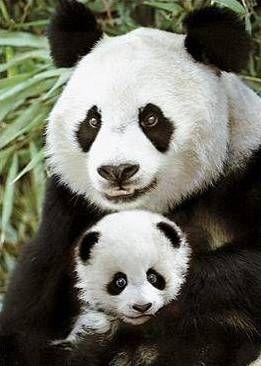 Tuvalu 2011 Wildlife in Need 1 Giant Panda Bear $1 Pure Silver ...                                                                                                                                                                                 More