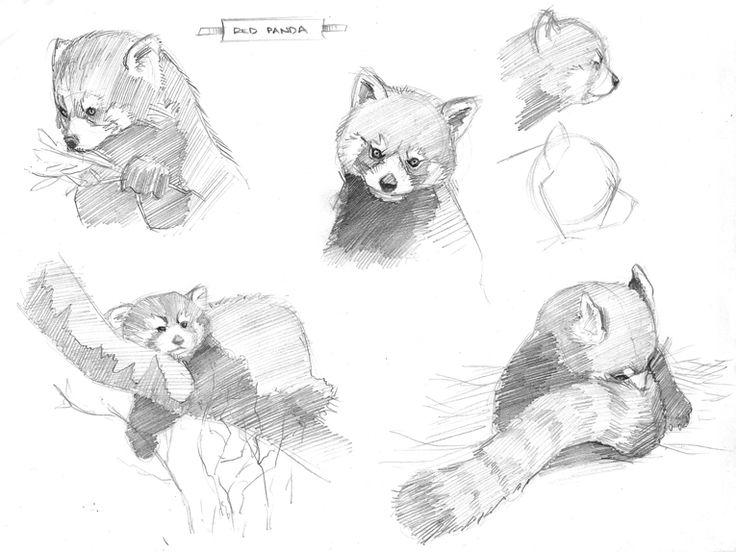9 best Rd panda images on Pinterest  Red pandas Asian art and