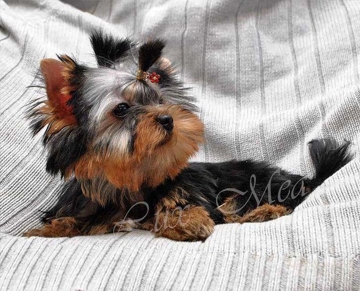 мини щенок йоркширского терьера