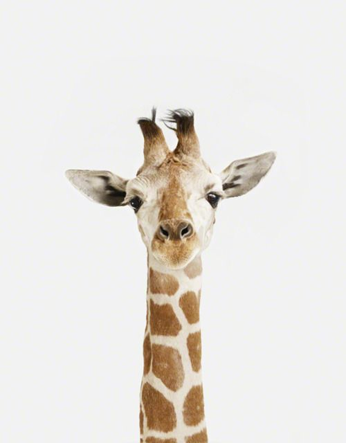 Giraffa Camelopardalis Male giraffes use their necks as weapons in combat, a behavior known as necking. Necking is used to establish dominance and males that win necking bouts have greater reproductive success.