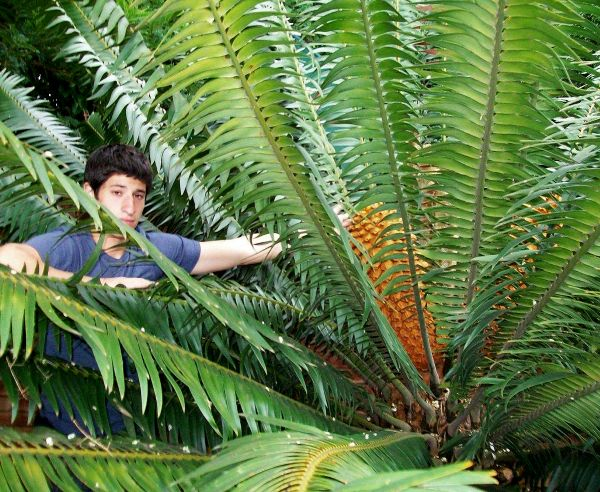 Cycad: Encephalartos paucidentatus