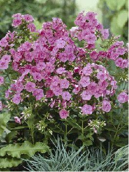 Summer   Garden Phlox   Check