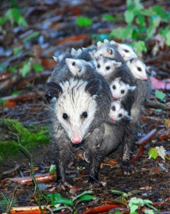 Who needs a stroller when you got Mom?  Opossums