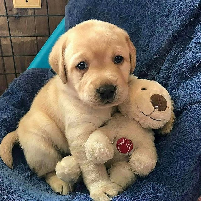 14 Great Facts About Golden Retrievers Petpress Labrador Puppy Training Labrador Puppy Labrador