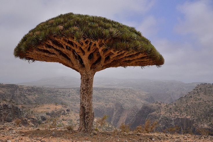 Dragon's Blood Tree On Socotra Island - Yemen