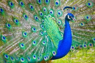 PeacockPeas Cock, Peacocks Panache, Awesome Pics, Things Peacocks, Birds, Peacocks Passion, Pretty Peacocks, Beautiful Pics, Animal