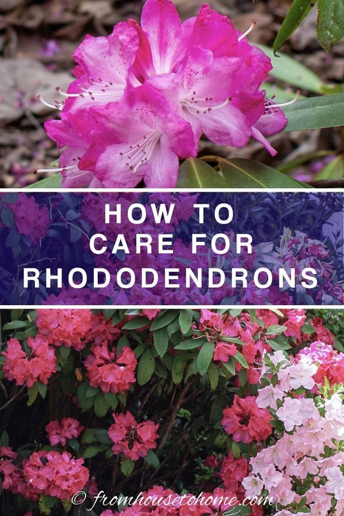 Rhododendron Care How To Grow Beautiful Rhododendrons And Azaleas Gardening From House To Home In 2020 Rhododendron Care Shade Loving Shrubs Shade Loving Flowers