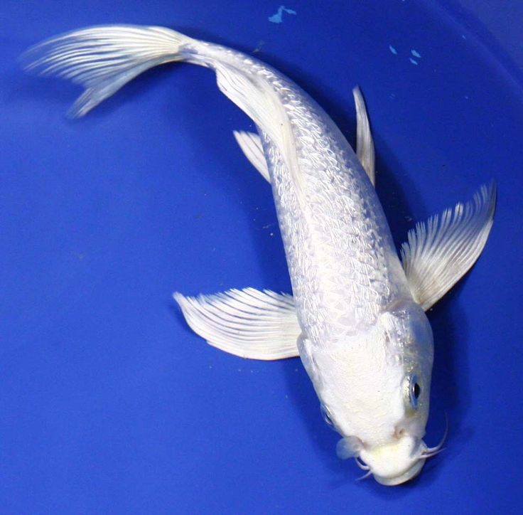 The history of koi fish and everything else you need to for Platinum koi fish
