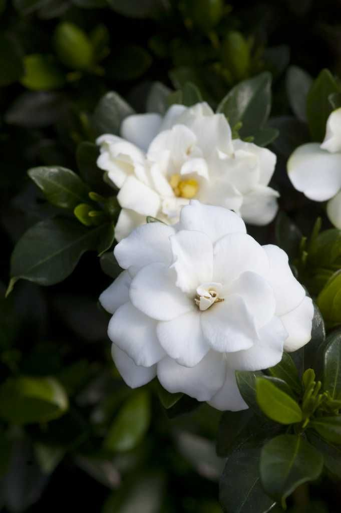 Double Mint Gardenia With Images Container Plants Shade