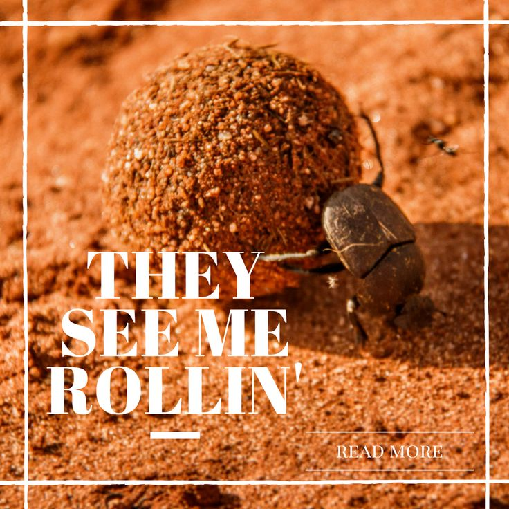they hatin', patrollin' and tryna catch me riding dirty.  And riding dirty they do alright. Read more about this fascinating beetle in this 2 minute read! #dungbeetle #africa #kenya #wildlife