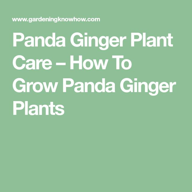 Panda Ginger Plant Care – How To Grow Panda Ginger Plants