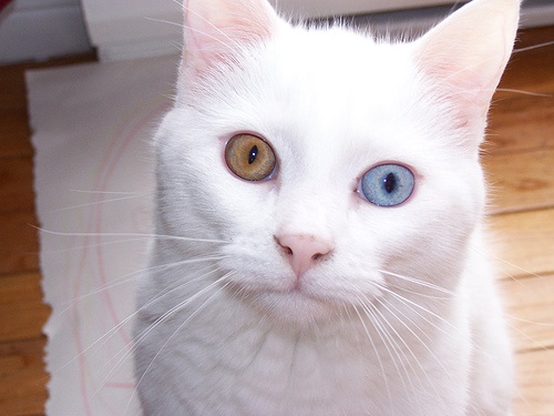 Best Cats And Kittens Images On Pinterest Cats Cool Cats And - This is pam pam the kitten with heterochromia with hypnotic eyes you just cant stop looking at