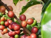 coffee plant growing tips.  I want to grow my own coffee.  maybe enough for one cup...in four years.