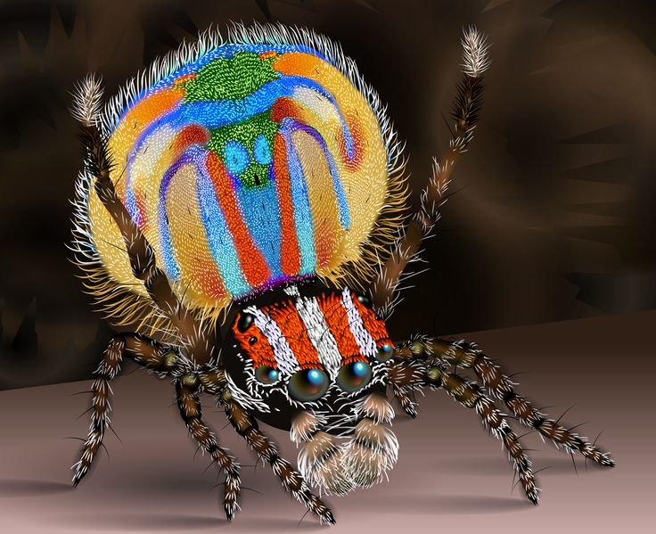 Male Peacock Spider (Maratus volns) illustration by KDS444                                                                                                                                                      More