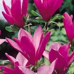 Magnolia Susan  In memory of my mum.