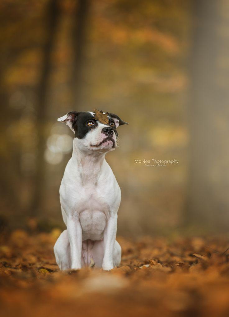 #Terrier #Staffordshirebullterrier #Staffie #autumn