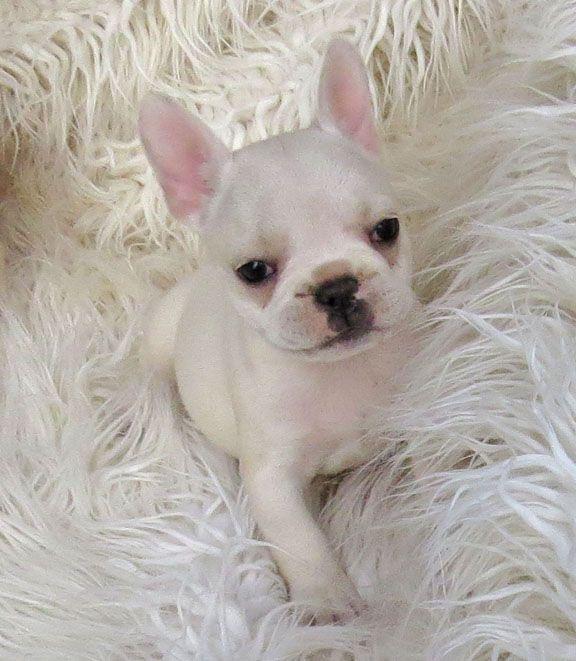 White Teacup French Bulldog
