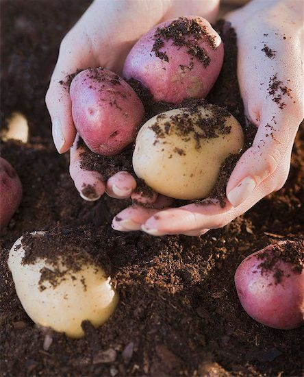 How to grow potatoes in a garbage bin