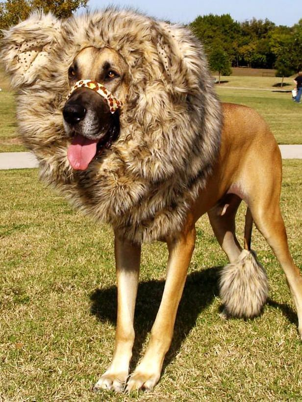 Great Dane in a Lion costume. Oh my goodness, how sweet is this baby?!?!