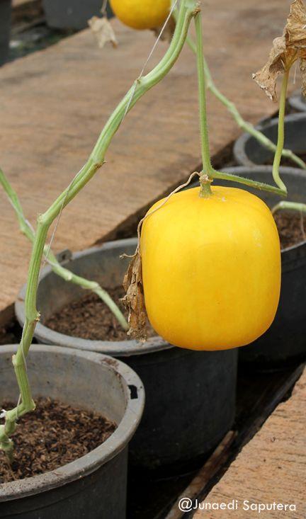 Square Melon (Cucumis melo) Collection Taman Buah Mekarsari
