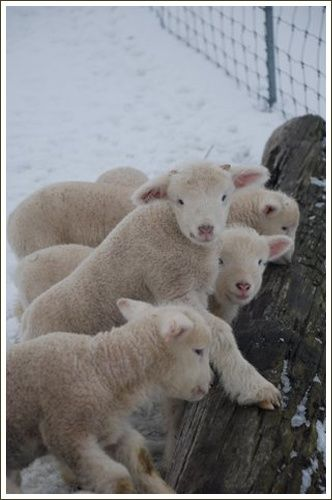 Lambs | Sheep | Winter Animals ❄