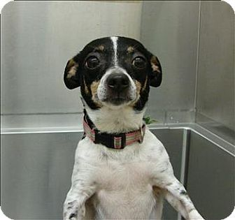 Birmingham, AL - Rat Terrier Mix. Meet Zoe a Dog for Adoption.