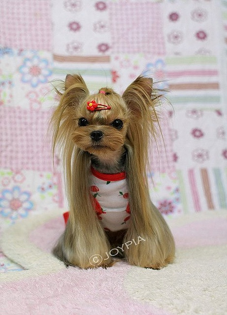 now That's a Yorkie