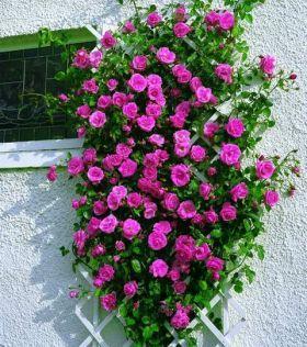 róże angielskie