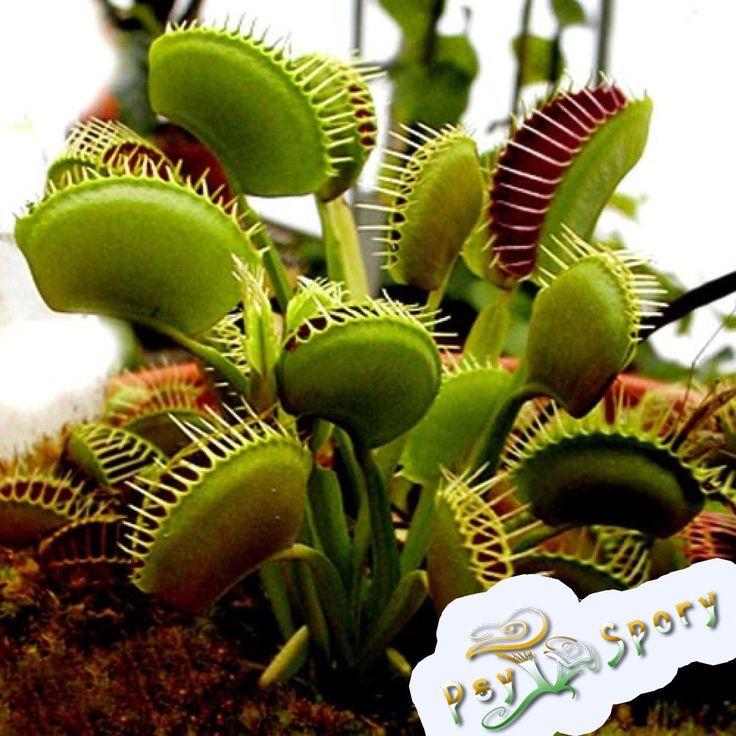 Другие семена : Семена Дионея мухоловка / Dionaea muscipula