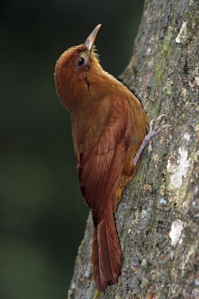 Ruddy Woodcreeper (Dendrocincla homochroa) found in South Mexico, Colombia and Venezuela